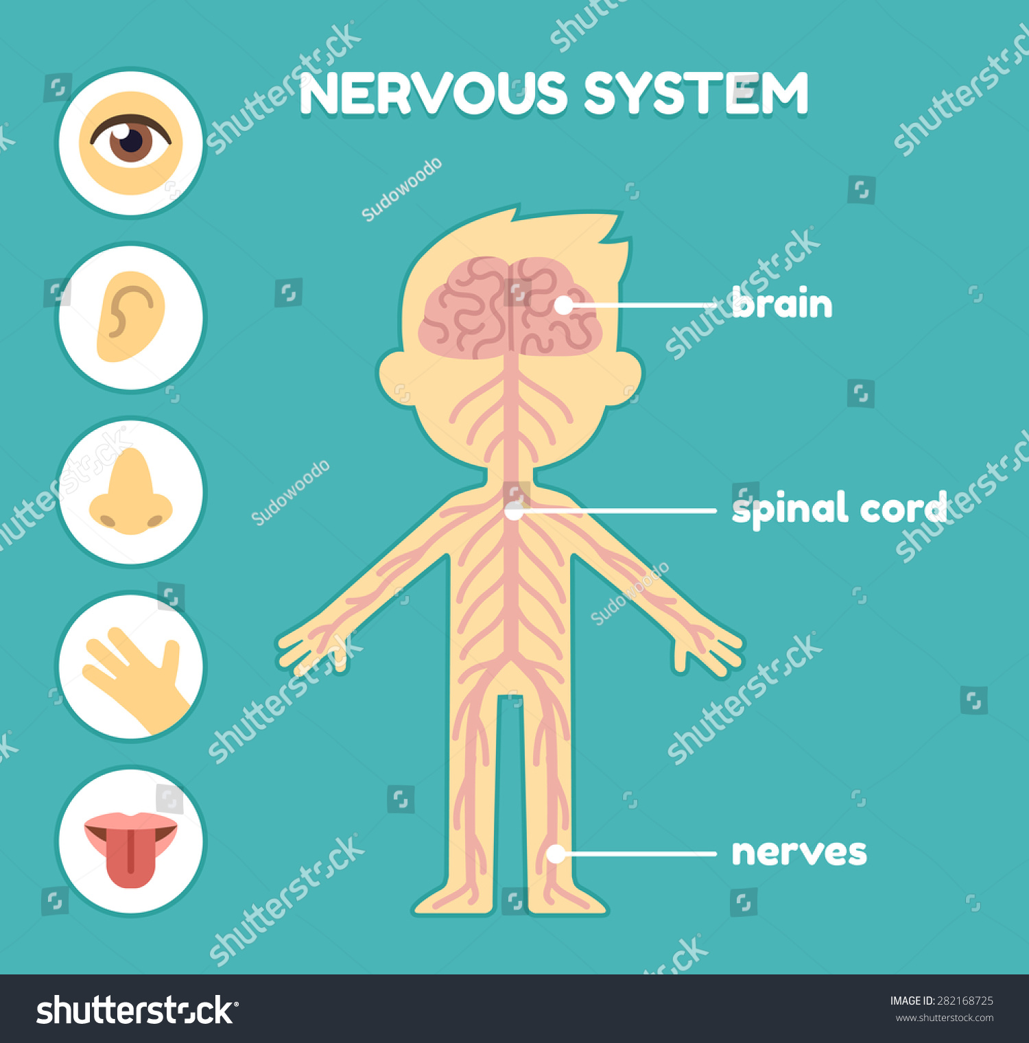 Nervous System Educational Anatomy Chart Kids Stock Vector