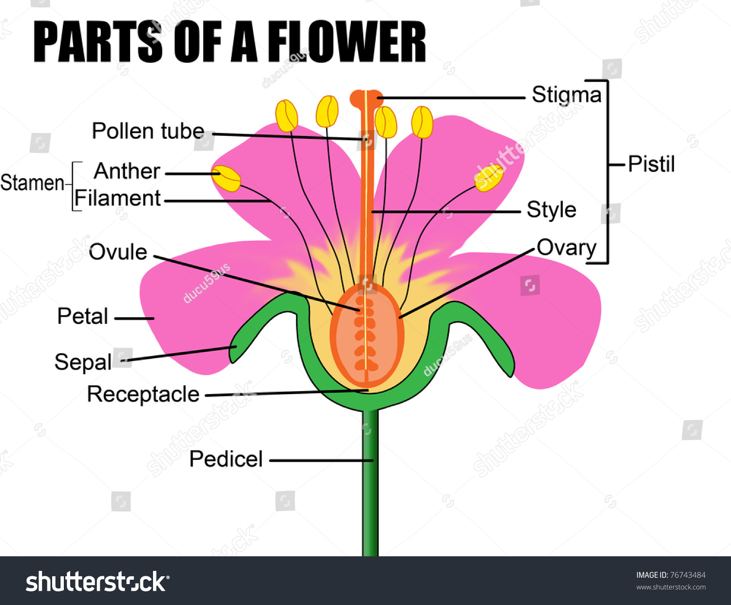 Parts Flower Vector Illustration Flower Diagram Stock