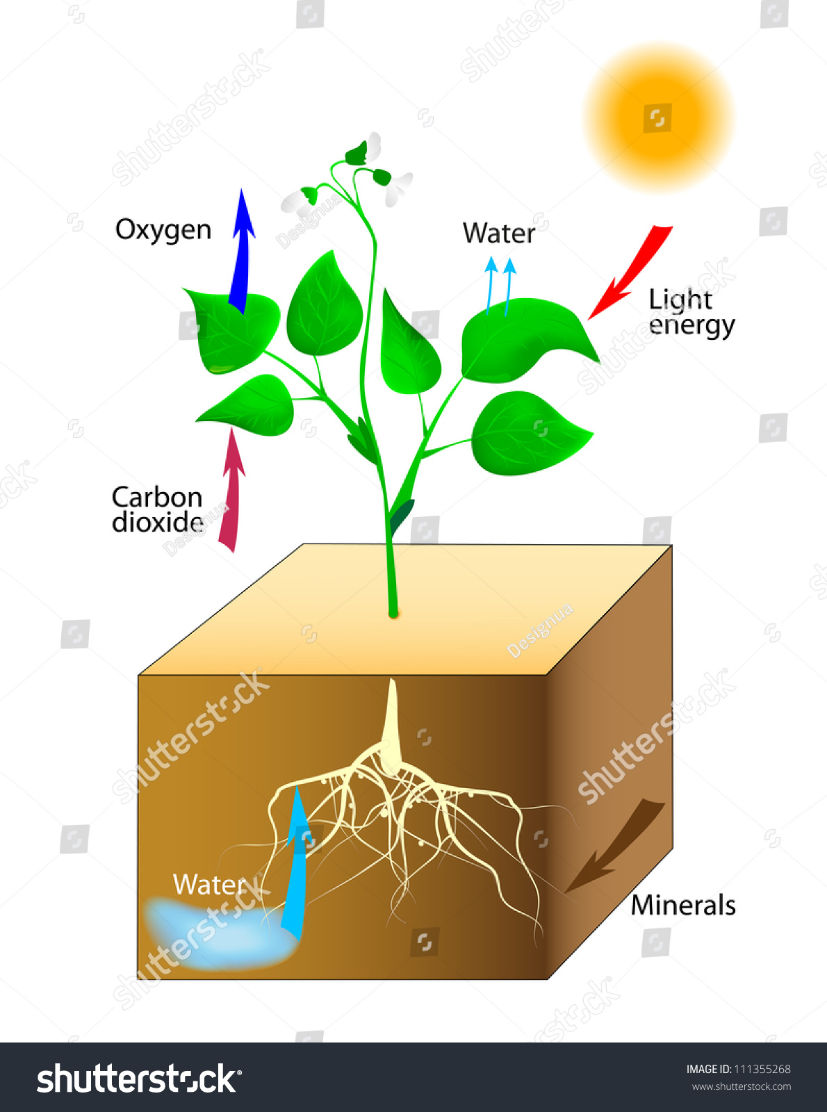 Photosynthesis Vector Schematic Photosynthesis Plants