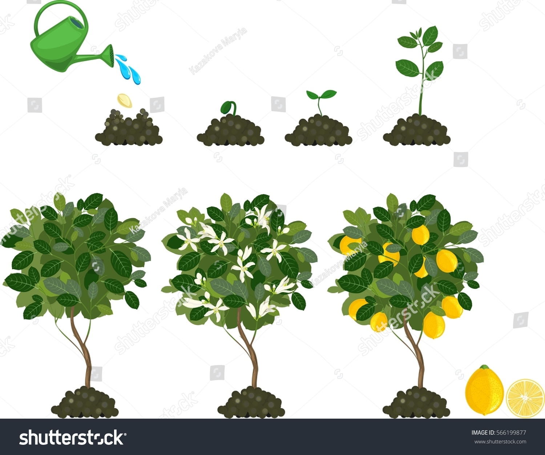 Plant Growing Seed Lemon Tree Life Stock Vector