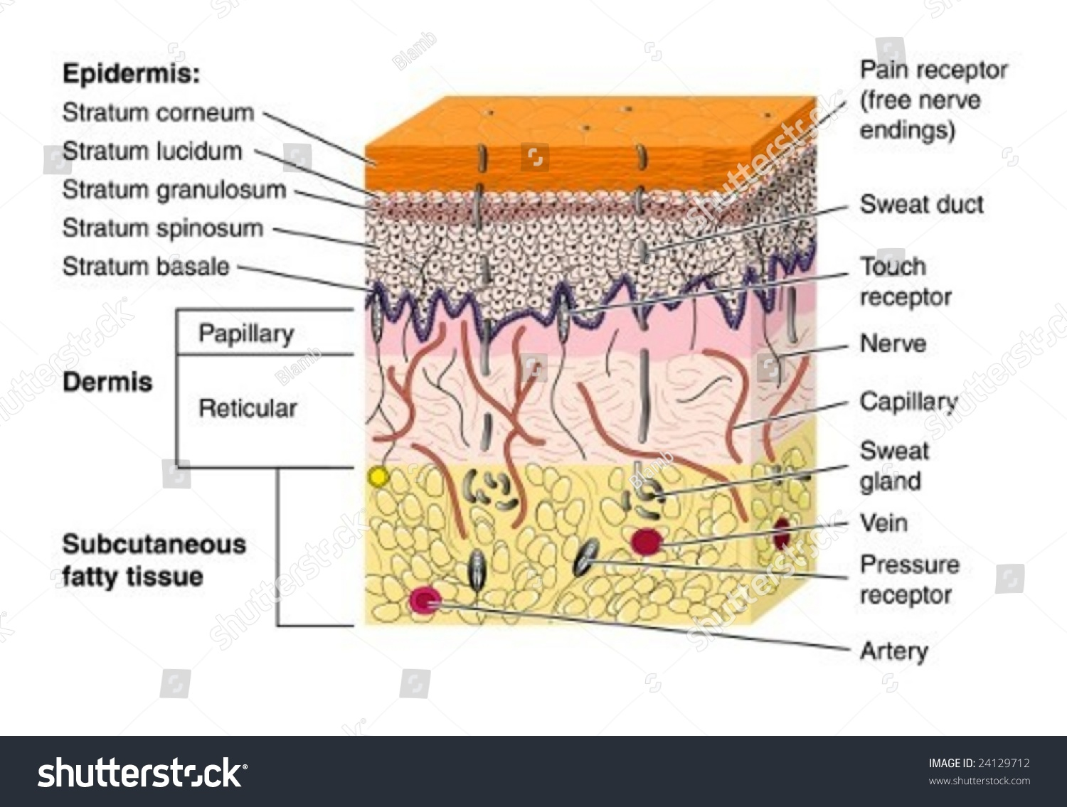 Skin Cross Section Labeled Stock Vector