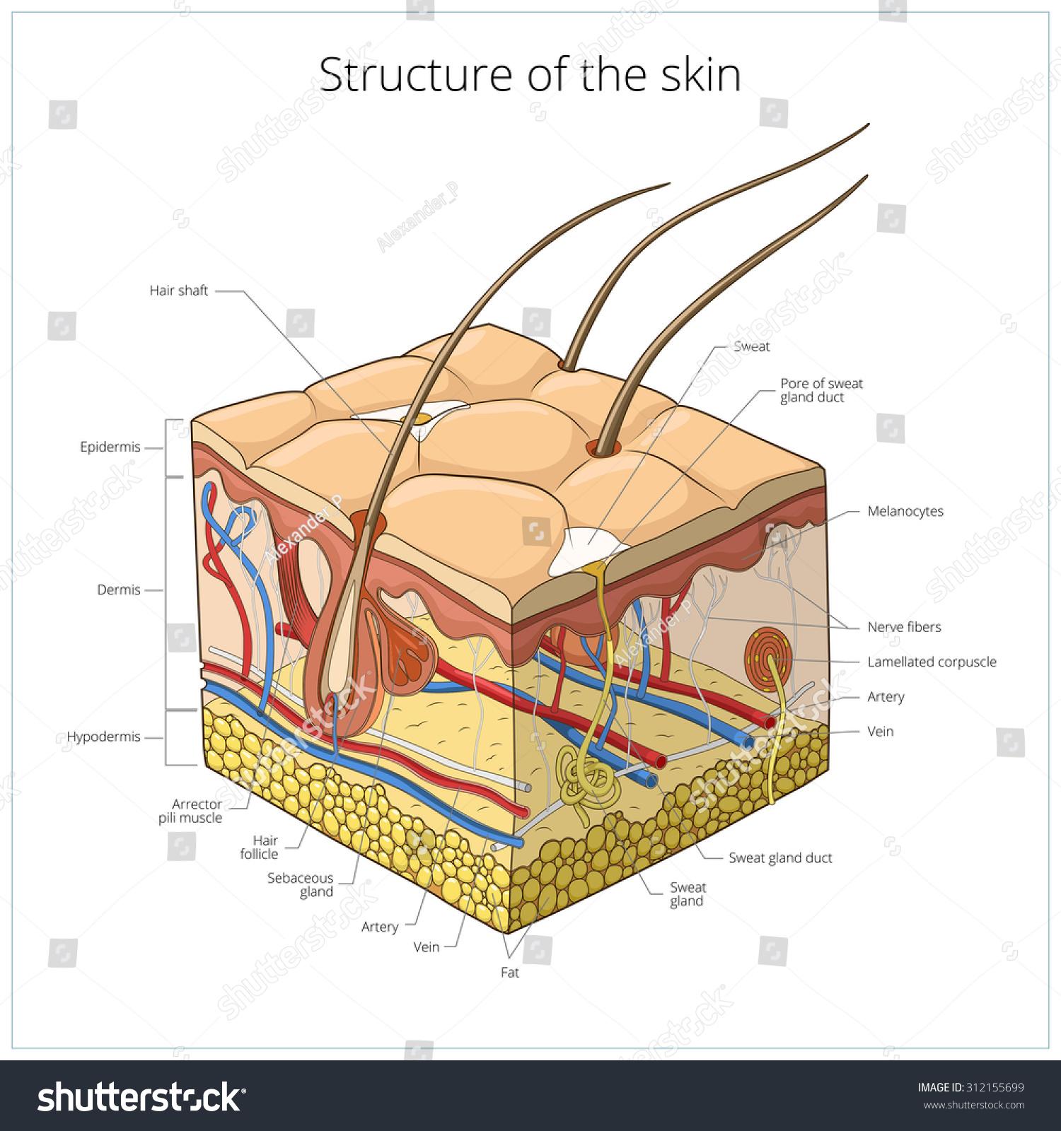 Skin Structure Animal Skin Human Skin Stock Vector