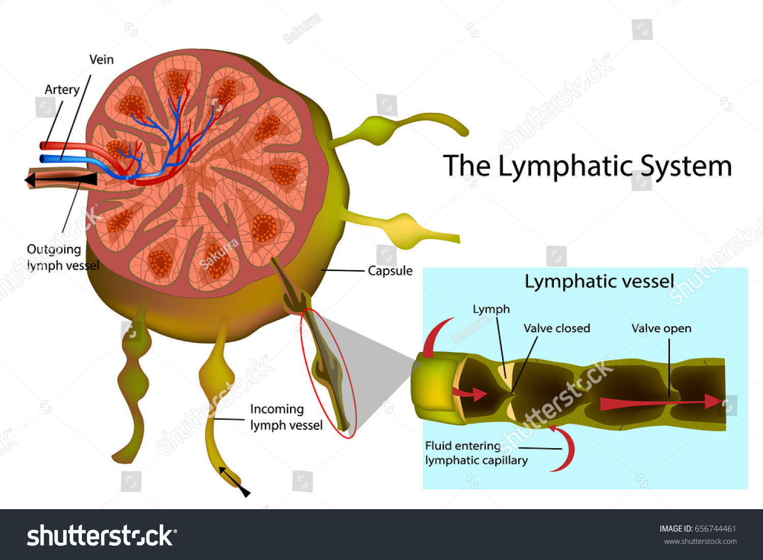 Lymphatic System Structure Lymph Node Longitudinal Stock