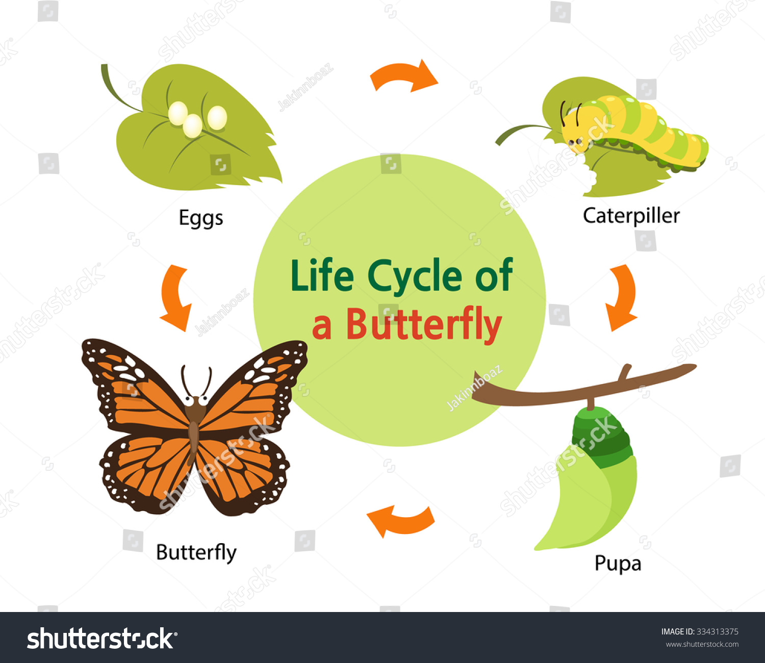 This Picture Shows Life Cycle Butterfly Stock Vector