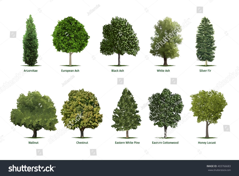 Tree Types Sortsspecimensvector Tree Illustrations