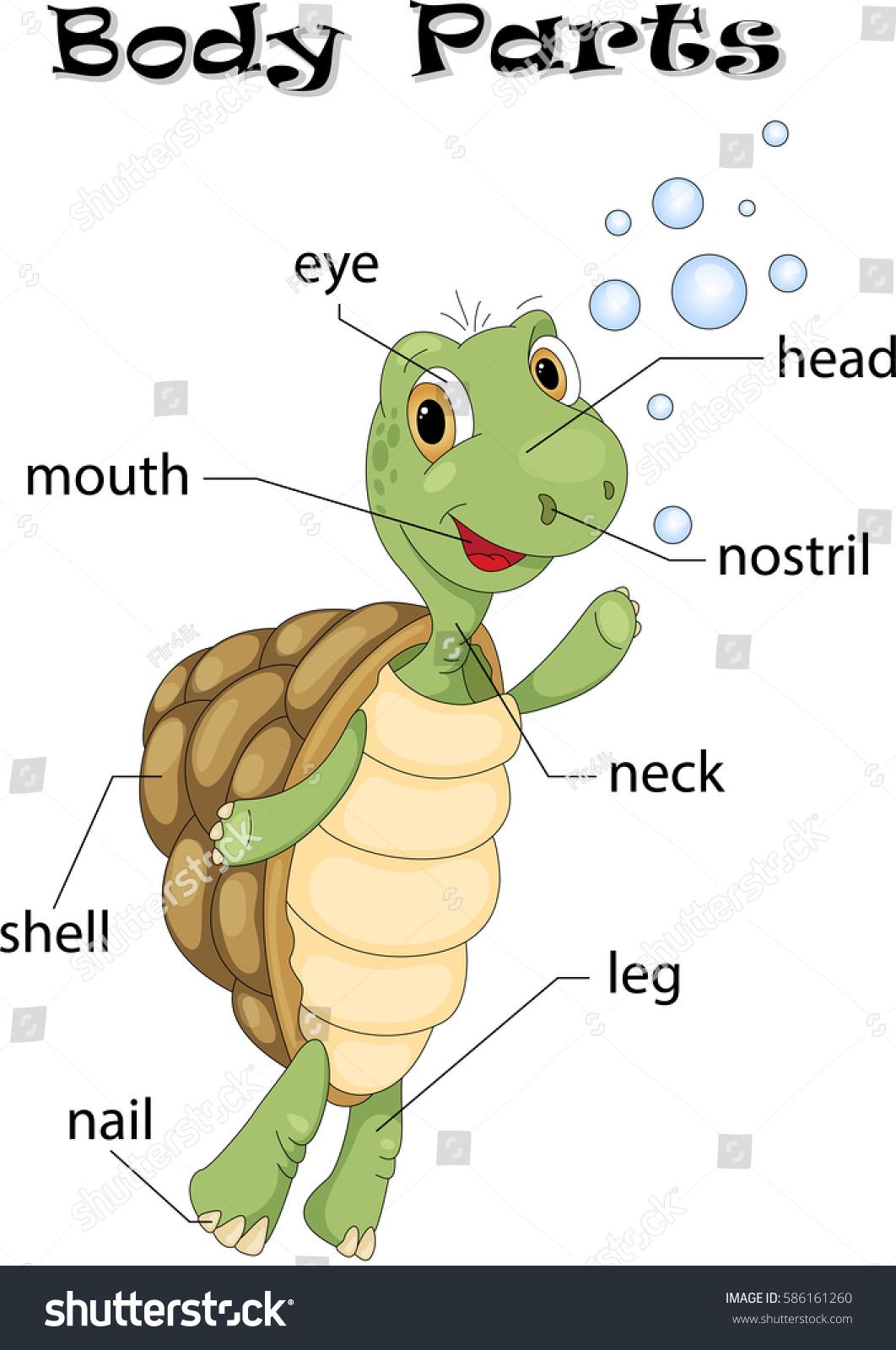 Turtle Body Parts Animal Anatomy English Stock Vector
