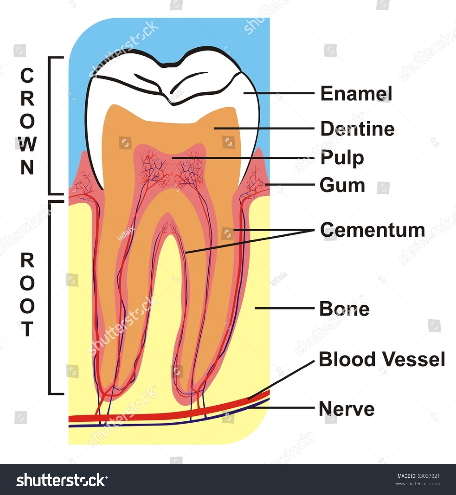 Vector Cross Section Tooth Crown Root Stock Vector