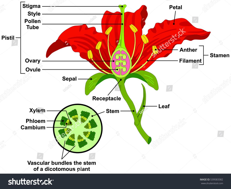 Vector Flower Parts Diagram Stem Cross Stock Vector