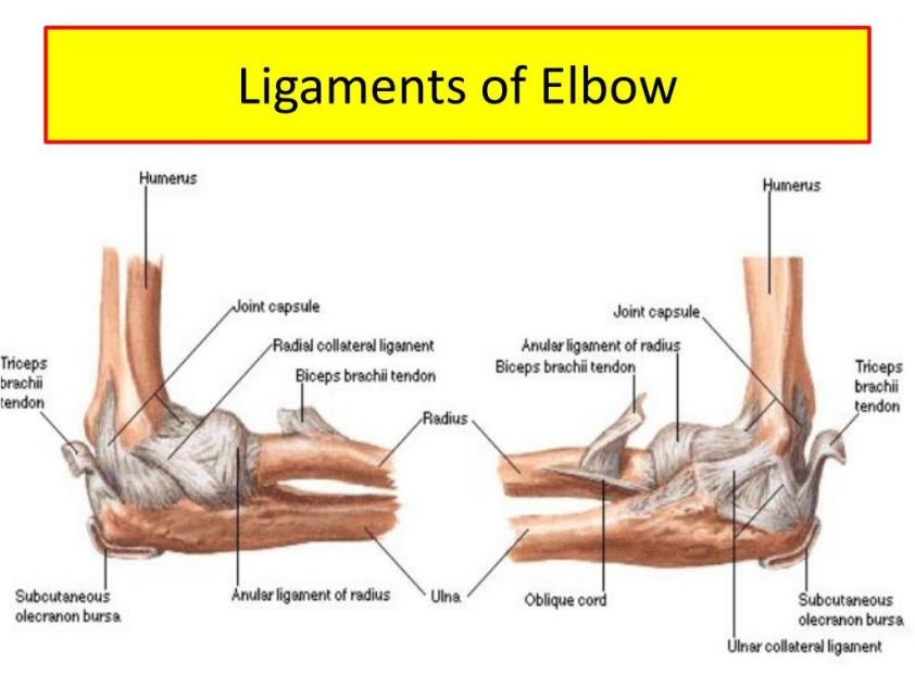 PPT - Upper limb Muscles of Arm, cubital fossa, and elbow ...
