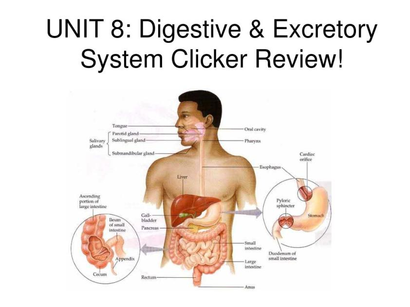 PPT - UNIT 8: Digestive & Excretory System Clicker Review ...