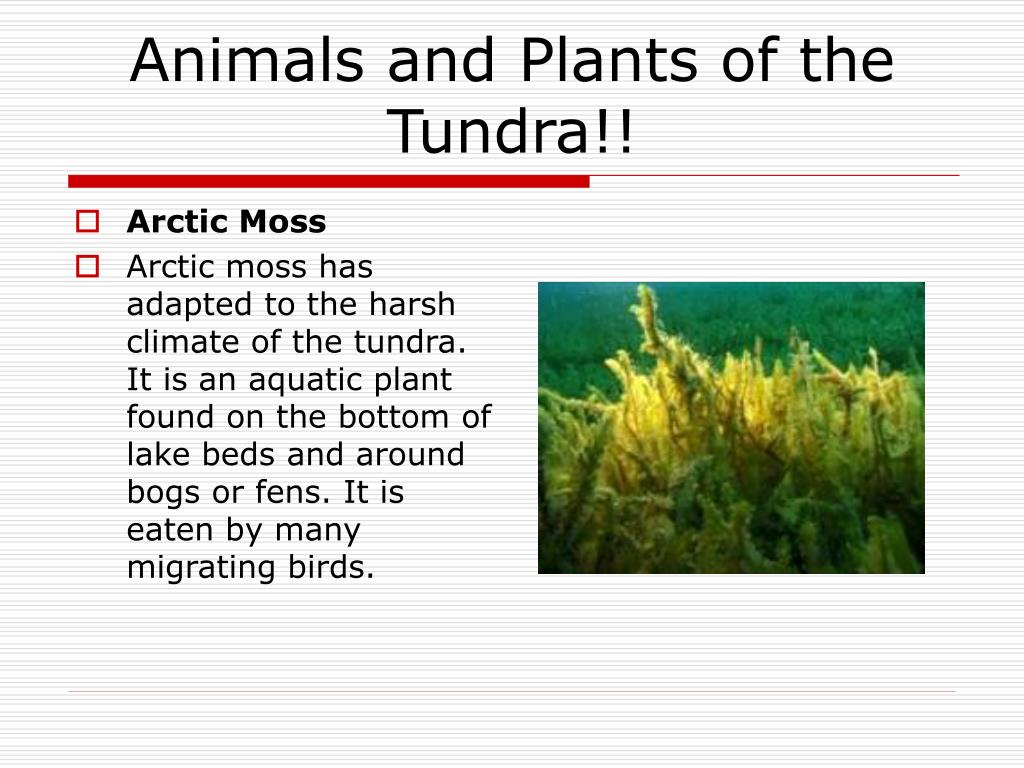 50 Great Arctic Moss Tundra Biome