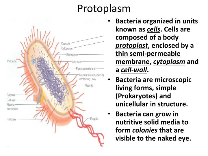 Internal Bacteria Structure