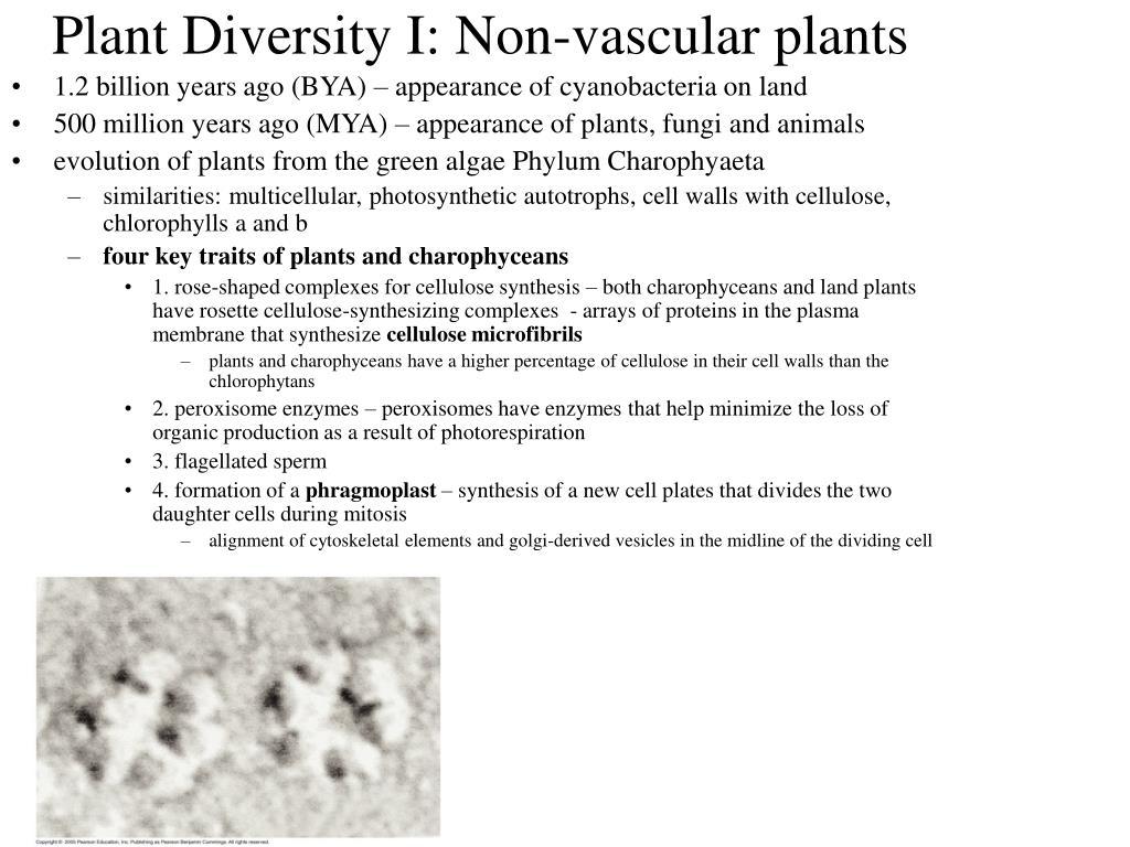 Worksheet Vascular And Nonvascular Plants Worksheet