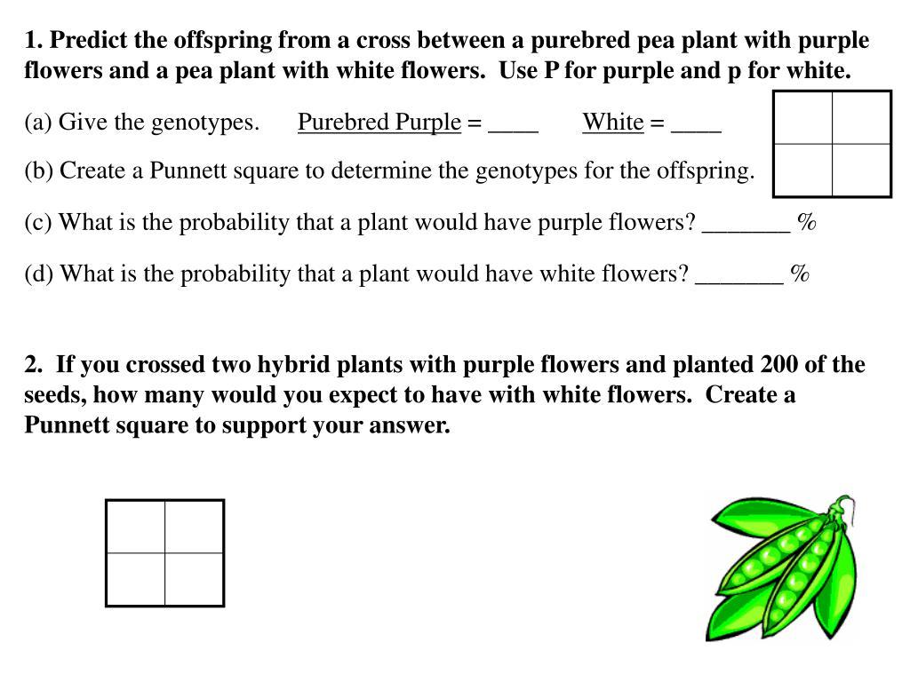 Bestseller Punnett Square Answer Key Pea Plants
