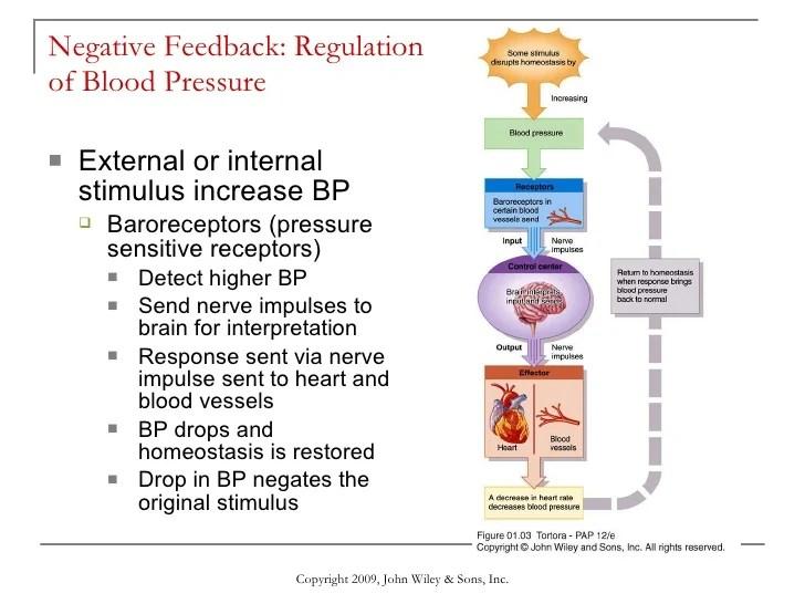 Positive And Negative Feedback Anatomy