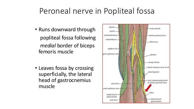Cutaneous Nerves Foot
