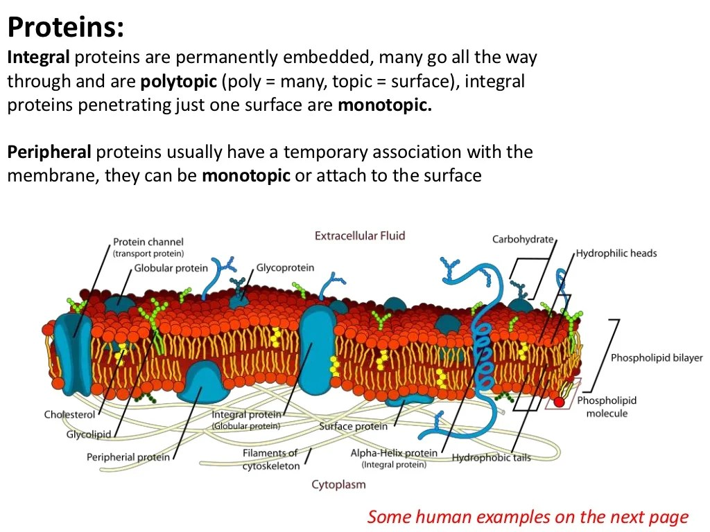 Proteins Integral Proteins Are Permanently Embedded