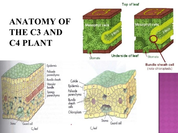 Difference Between Leaf Anatomy Of C3 And C4 Plants | Zoshwiki.co