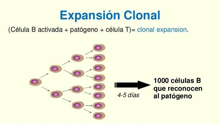 https://i1.wp.com/image.slidesharecdn.com/3claseinmunologa-121003221742-phpapp01/95/3-clase-inmunologa-65-728.jpg