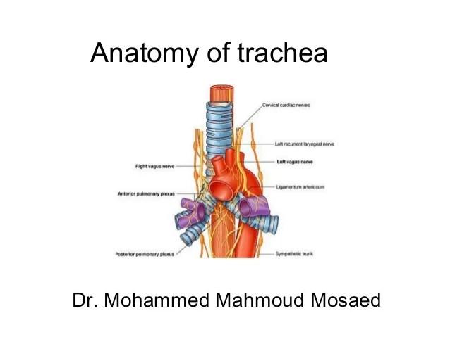 5. Trachea