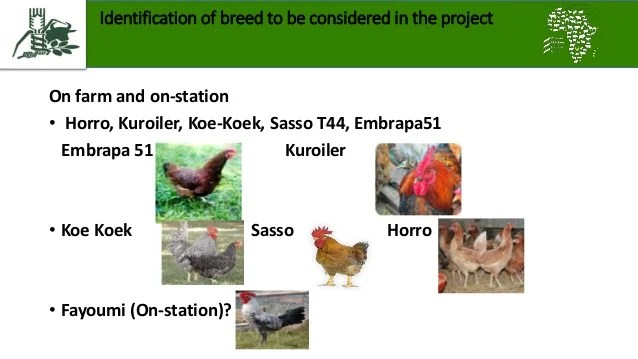 The chicken strains to be tested by African Chicken Genetic Gains in Ethiopia (image credit: EIAR/S. Abegaz)
