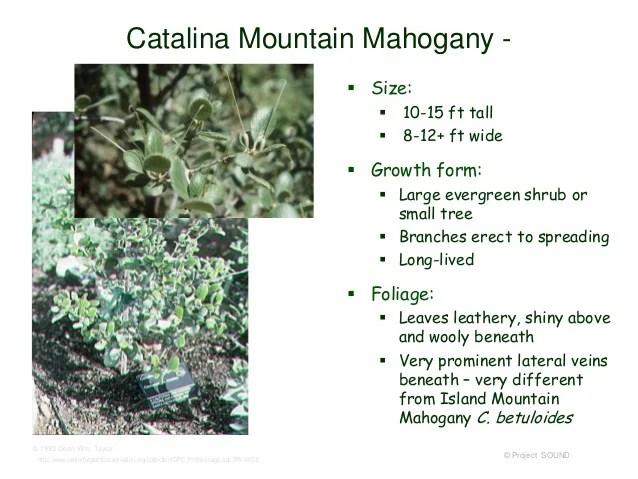 Catalina Mountain Mahogany