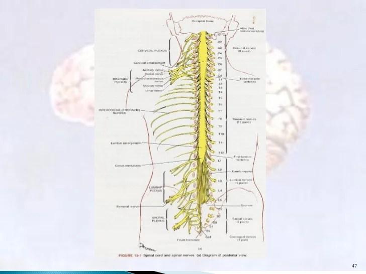 Anatomi Sistem Saraf