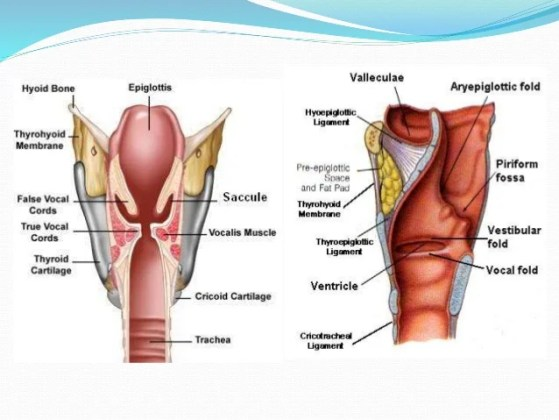 Magnificent Anatomy Of Vocal Cords Adornment Internal Organs