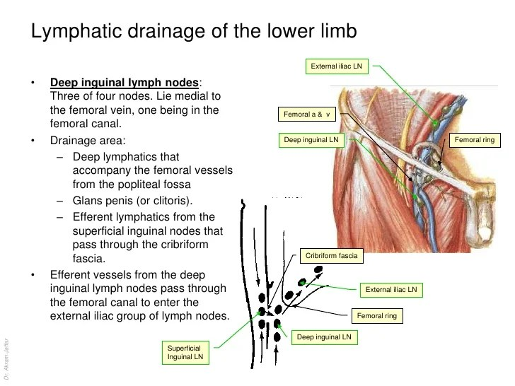 Female Inguinal Lymph Nodes Diagram Search For Wiring Diagrams
