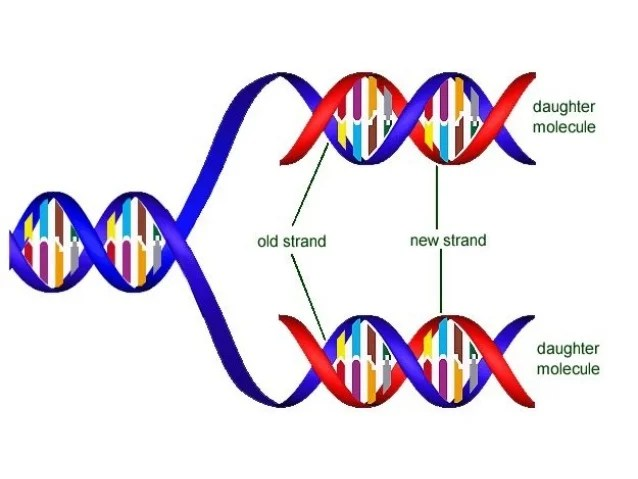 Enzyme Dna Replication Steps