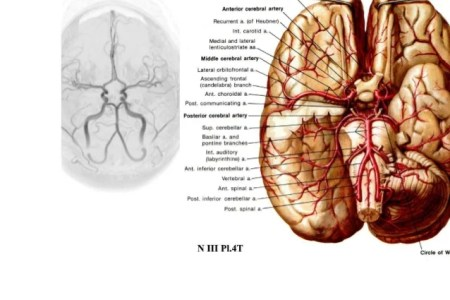 interior inferior middle cerebral artery » Full HD MAPS Locations ...
