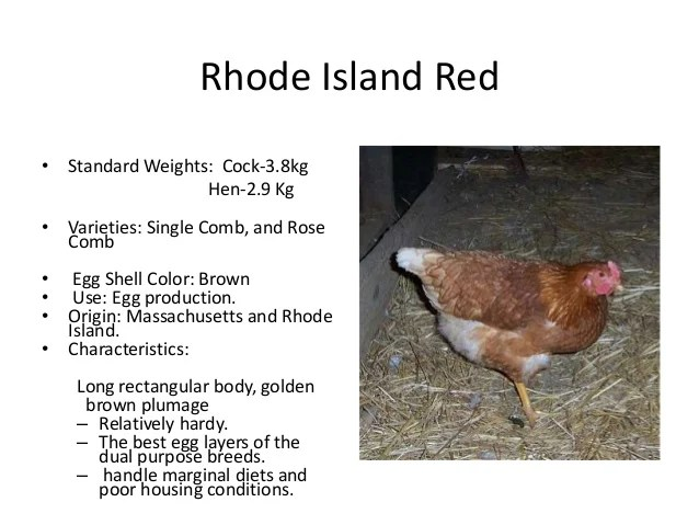 Black Jersey Giant Chicken Female