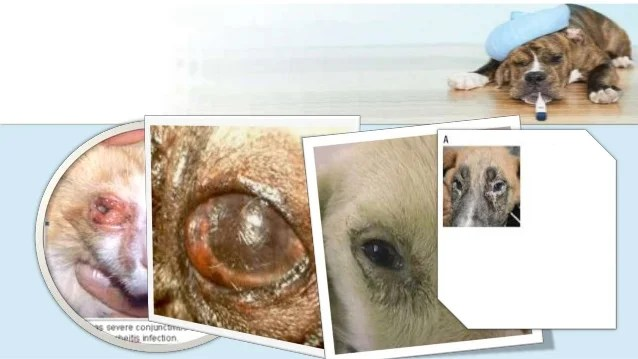 Canine Distemper Signs Diagnosis Treatment And