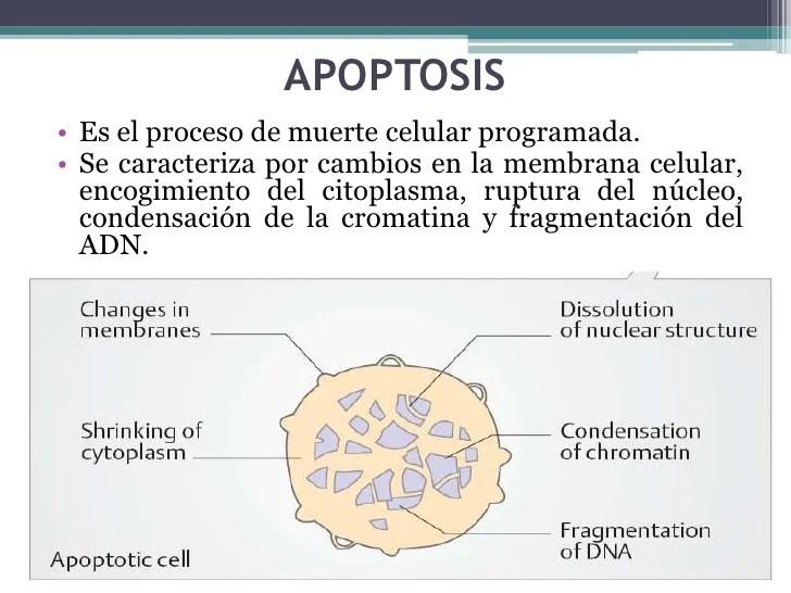 Ciclo celular apoptosis
