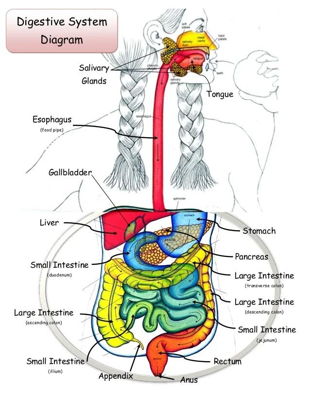 Digestive system lab_20