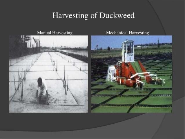 Plant Parts Duckweed