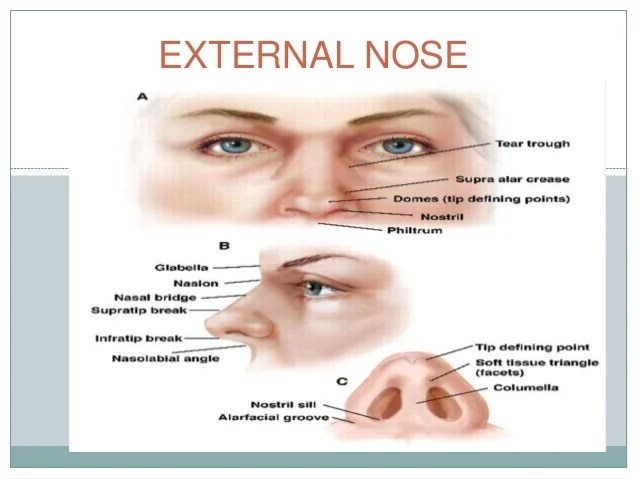 Exterior Nasal Anatomy Diagram