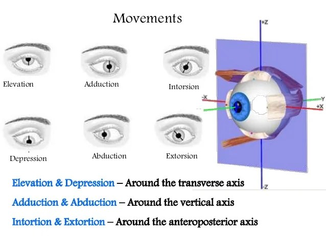 Extra ocular muscles ppt