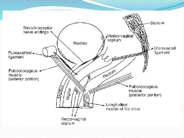 Female Anatomy Urethral Sphincter
