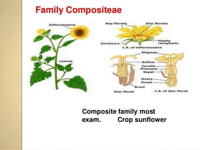 Marigold Flower Anatomy Diagram