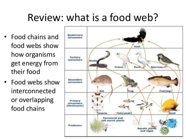 food chains webs and ecological pyramids worksheet answer key. Black Bedroom Furniture Sets. Home Design Ideas