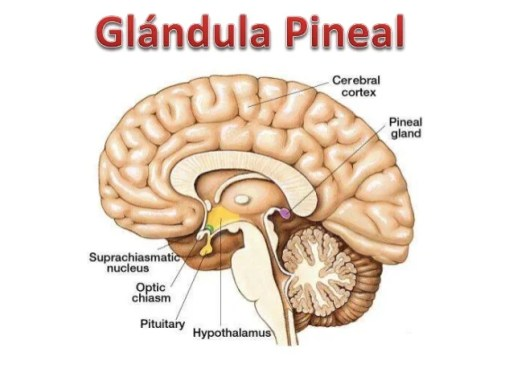 Image result for glándula pineal