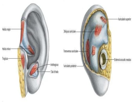 Anatomy Of The Ear Online Interactive Map Wallpapers Online