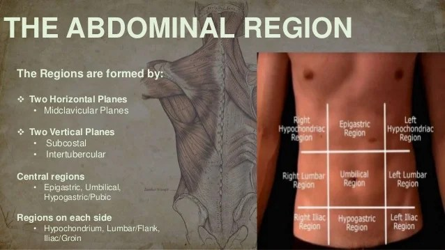 Surface Anatomy of the abdominal viscera and abdominal ...