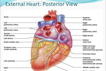 anatomical structure of heart » Full HD Pictures [4K Ultra] | Full ...