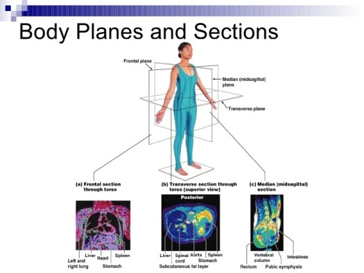 Human Anatomy Body Planes And Sections Periodic Diagrams Science