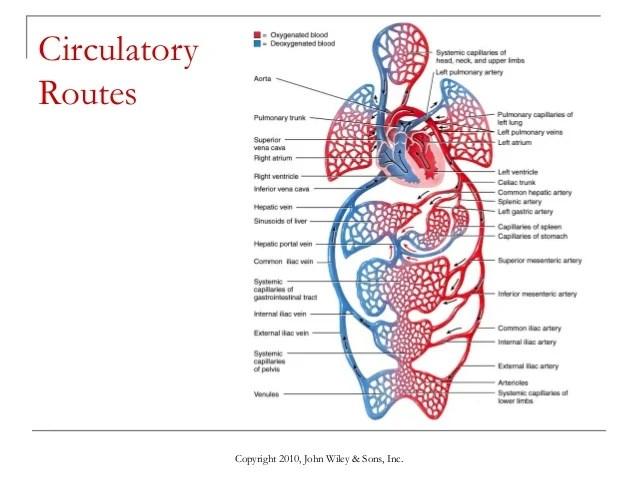 Heart Route Blood Through Flow