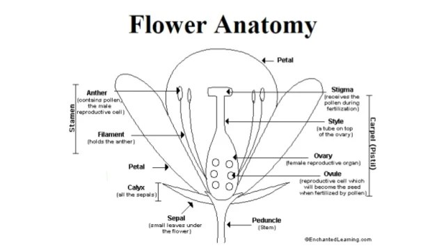 Dissection Of Flower Diagram Best Flower In The Word 2017 – Flower Dissection Worksheet