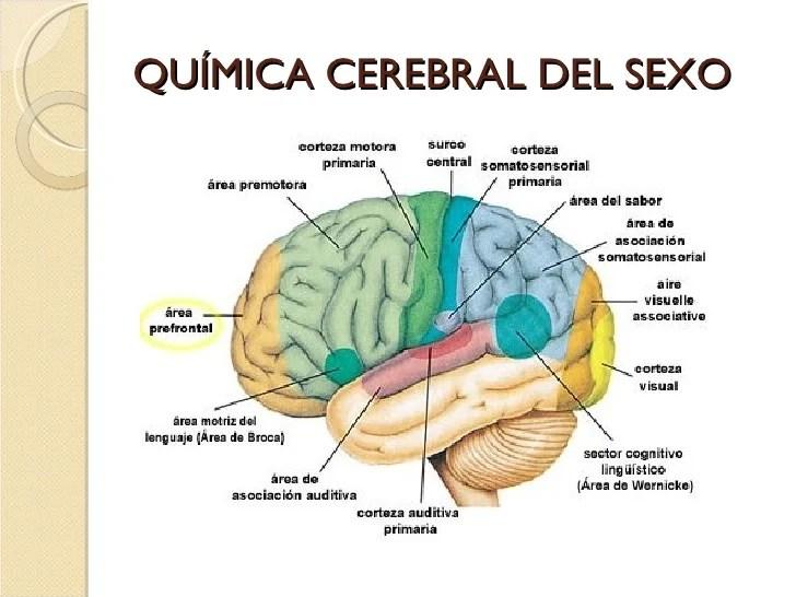 https://i1.wp.com/image.slidesharecdn.com/neurofisiologa-neuropsicologa-y-enfoque-neurocientfico-de-la-sexualidad-humana-1213843962738516-9/95/neurofisiologa-neuropsicologa-y-enfoque-neurocientfico-de-la-sexualidad-humana-39-728.jpg