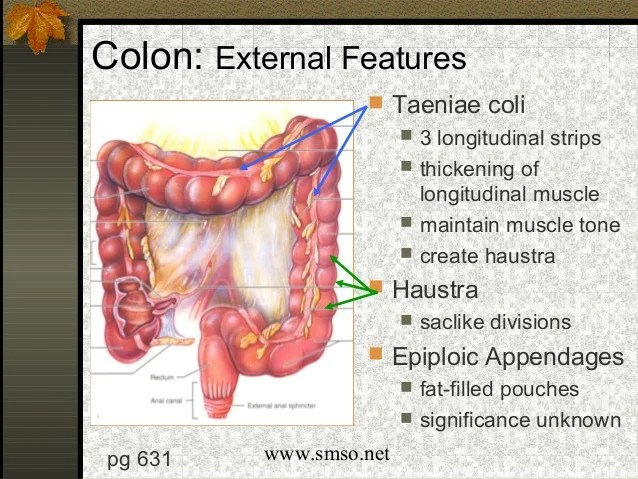 Epiploic Appendix Cadaver